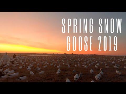 California To South Dakota  Spring Snow Goose Hunt!