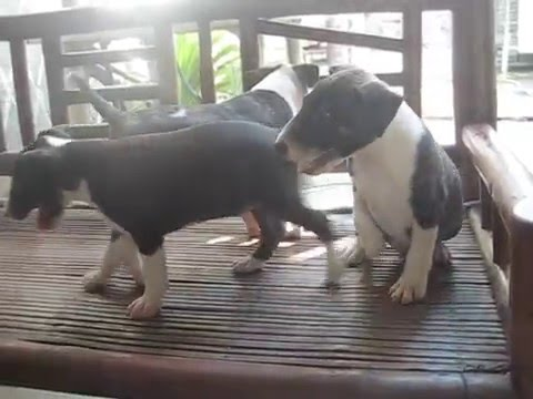Mini Bull Terrier Philippines You