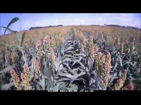 2015 KARTA Test Time lapse: Pop-up fertilizer in grain sorghum