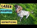 Dog Chasing Laser Pointer OBSESSED!