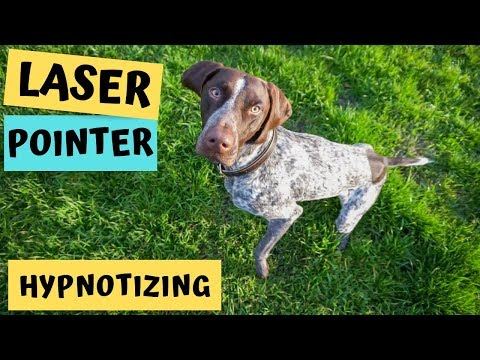 German Shorthaired Pointer chasing a laser