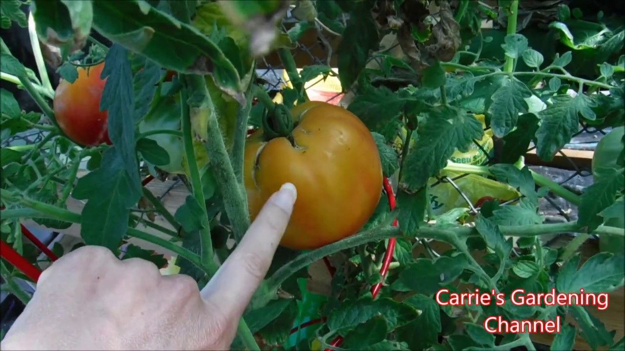 Heirloom Mr Stripey Tomato Review And History
