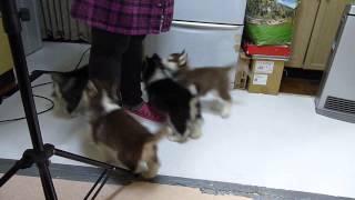 シベリアンハスキーの子犬達です。 とっても元気に成長中! http://www....