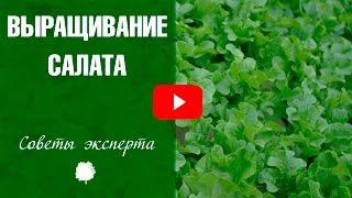 Салат (Salad) Выращивание салата 🌱 Хитсад дача сад огород