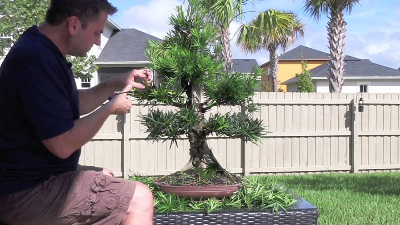 How To Bonsai Podocarpus Styling Youtube