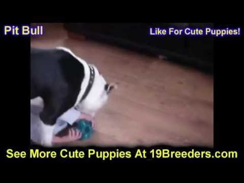 Pit Bull, Puppies For Sale, In, Nashville, Tennessee, TN, County, 19Breeders, knoxville, Smith
