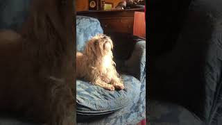 Dandie Dinmont terrier VS flies (1)
