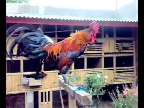 ayam ketawa dangdut Kristal ahmad Kumpay