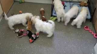Little Rascals Uk Breeders New Litter Of Cavachon Boys And Girl - Puppies For Sale 2015