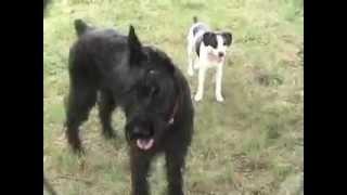 Giant Schnauzer, Jack Russell And Alaskan Malamute Puppy