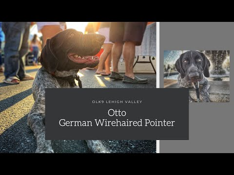 Best German Wirehaired Pointer Trainers in PA ||| 7 Month Old German Wirehaired Pointer, Otto