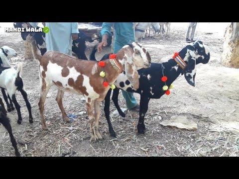 Repeat 1ST TRUCK UNLOADED COW MANDI FAISALABAD | BAKRA EID