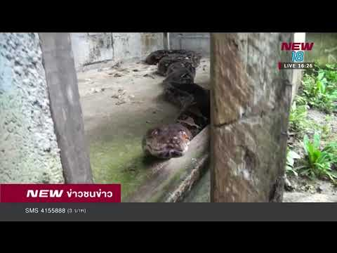 งูเหลือมยักษ์ให้โชคลาภชาวบ้านมากว่า 38 ปี