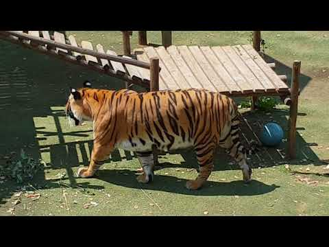 Tigers need to feel safe when going to sleep!