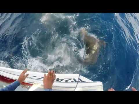 Shark Attacking A Bonita In Jupiter Florida - Samana Fishing Charters
