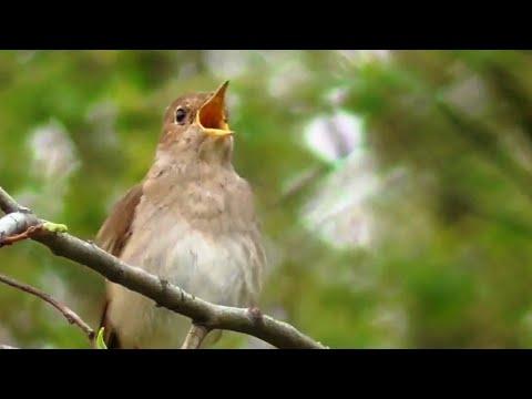 Пение соловья