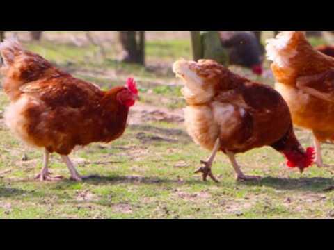 10 Best Egg Laying Chicken Breeds