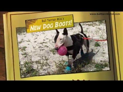 Bull Terrier Mila's new Dog Boots