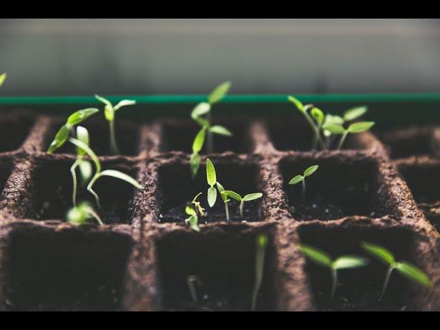 Jack'd Up Gardening #6 - Seedlings and Transplanting