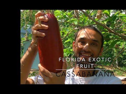 Exotic Florida fruit: Cassabanana #shorts