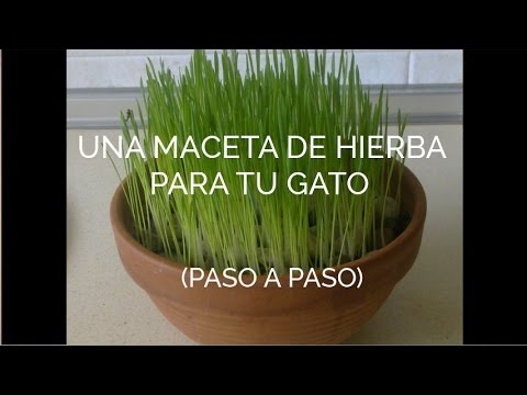 Mimiga c mo sembrar una maceta de hierba para gatos - Macetas de pared ...
