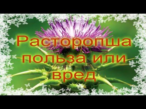 Расторопша при панкреатите поджелудочной железы и при других заболеваниях