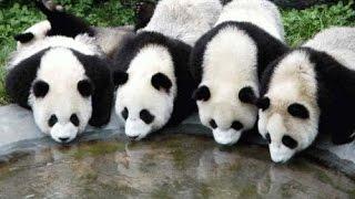 Baixar Osos Panda de China en grave peligro de extinción