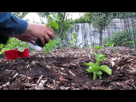 Whatu0027s The Best Time To Transplant Seedlings Into The Garden? U0026 Planting  Out Ashwagandha