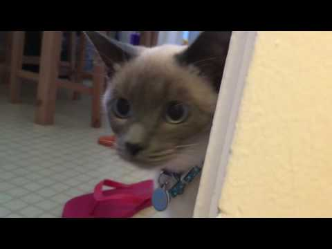 Funny Cat video: Clever Siamese