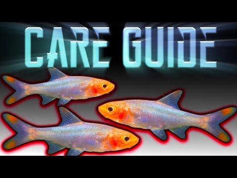 Rummynose Rasbora - Care Guide