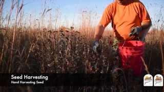 Hand Harvesting Wildflower Seeds, Advanced Topics