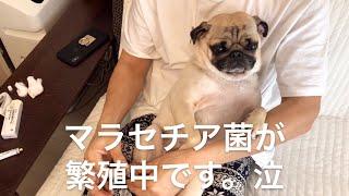 マラセチア症は皮膚の表在の感染症で、犬ではとても一般的な病気だそう...