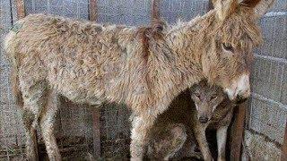 Люди бросили старого ослика в клетку к волку, то что сделал волк никто не ожидал
