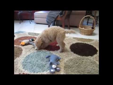 Labradoodle Puppies: Various labradoodle puppies playing