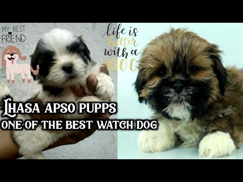 Lhasa Apso Puppies ! Best Watch Dog | Indipendent | Small Dog Breed | Lhasa Apso Facts In Hindi