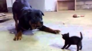 Бесстрашный котенок нападает на ротвейлера!
