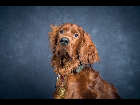 Duffy - Irish Red Setter - 4 Weeks Residential Dog Training