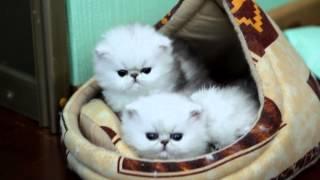 ПЕРСИДСКИЕ ШИНШИЛЛЫ, котята.  KELEVRA cattery