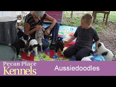 Aussiedoodles For Sale - Puppy Aussiedoodles For Sale - Breeders