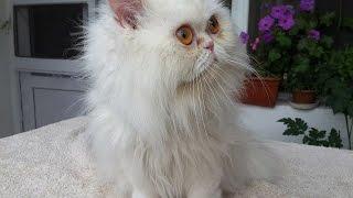 Стрижка кота. Милка посетила специалиста.(, 2014-07-12T14:28:36.000Z)