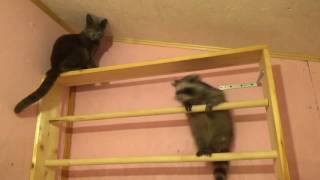 Енот vs Кот