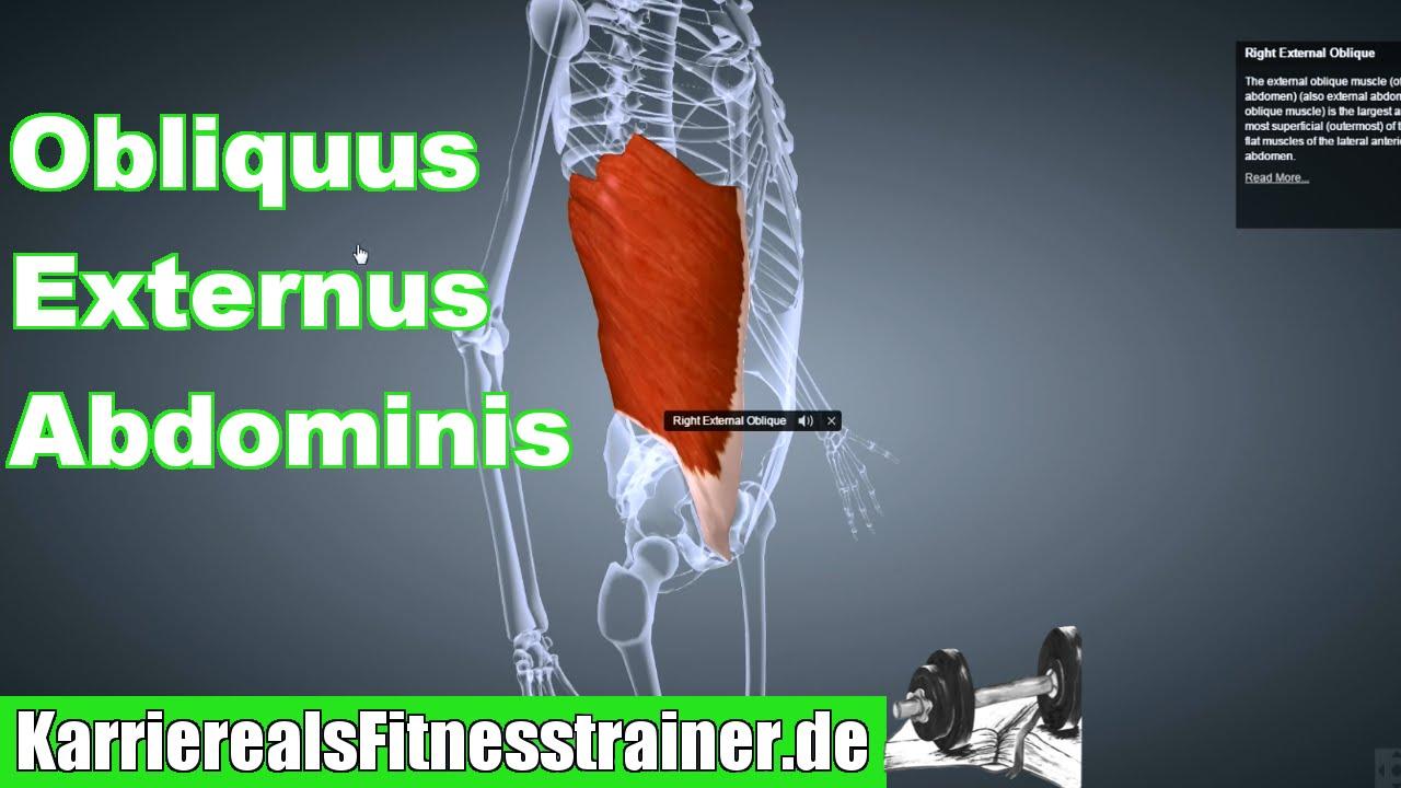 M. Obliquus Externus Abdominis Ansatz Ursprung Funktion Dehnung ...