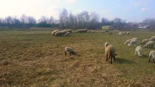 Обучение молодой собаки по управлению на стаде овец