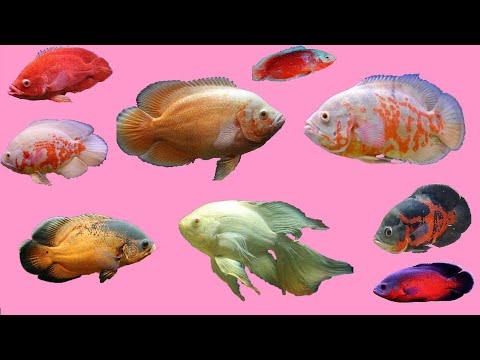 Top 12 Aquarium Oscar Fish And Indian Price