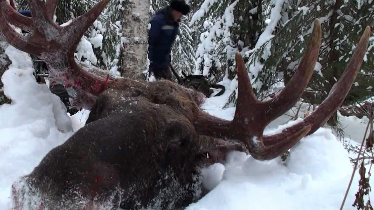 охота с лайкой на севере видео