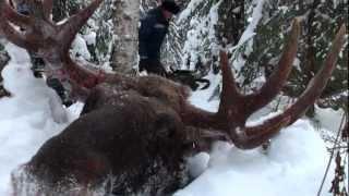 Охота на лося. С лайкой