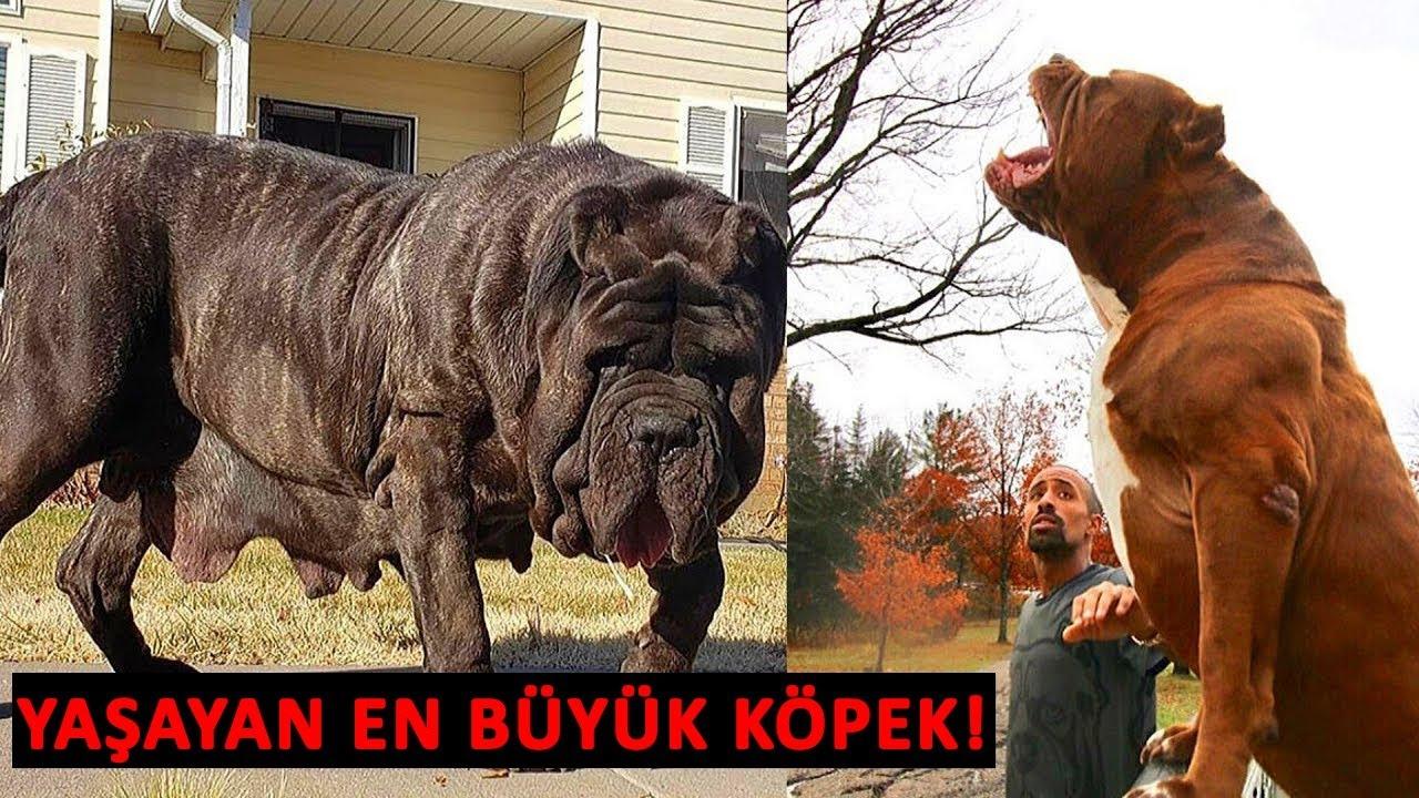 Dünyanın En Büyük 10 Köpeği - Yeni Köpek Irkı Keşfedildi.