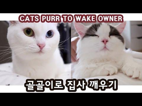 골골이로 집사 깨우는 고양이 CATS PURR TO WAKE OWNER