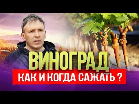 Как и когда сажать виноград весной - Срок посадки, Выбор саженцев, Уход за виноградом Выпуск №3