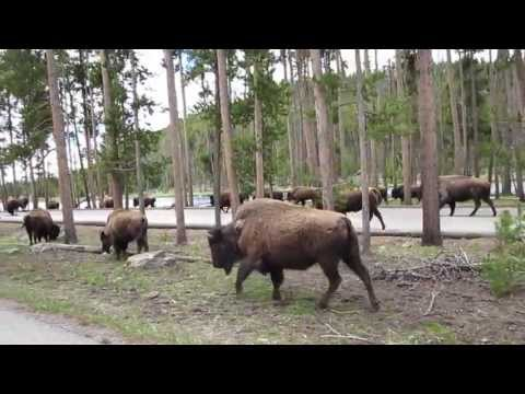 Yellowstone bison herd